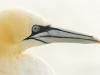 Gannet @ Noordzee