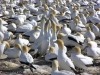 Gannets in Nieuw Zeeland