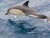 Dolfijn op Atlantische Oceaan